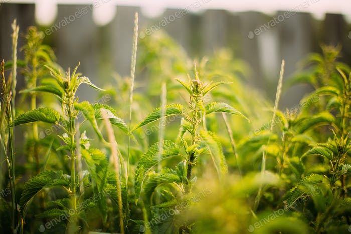 Twigs Of Wild Plant Nettle - Stinging Nettle - Urtica Dioica In