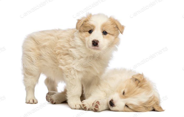 Two Border Collie puppies, 6 weeks old, one is lying and sleeping and the other is standing