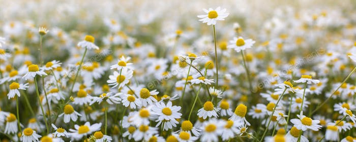 Close up of blooming field of daisies.