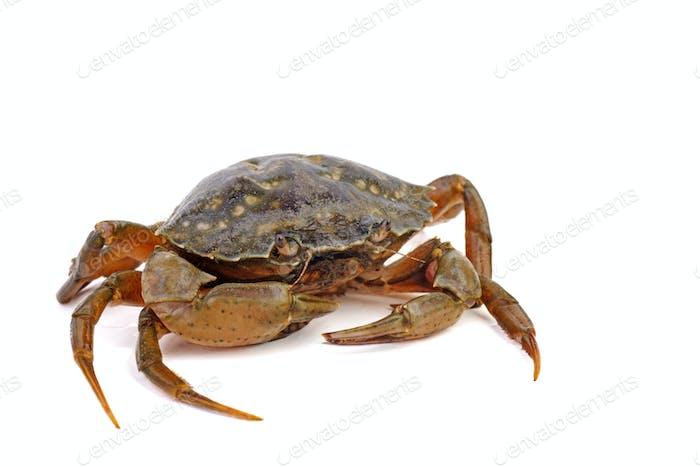 Lebende Krabbe auf einem weißen Hintergrund.