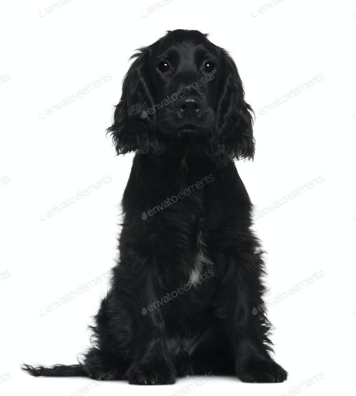 English Cocker Spaniel, 5 months old, sitting in front of white background
