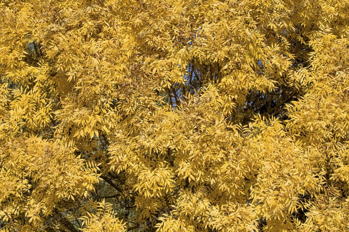 Background of yellow willow.