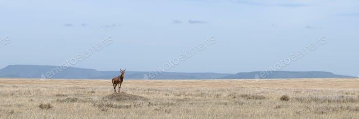 Coke's Hartebeest, Alcelaphus buselaphus cokii, in Serengeti National Park, Tanzania, Africa