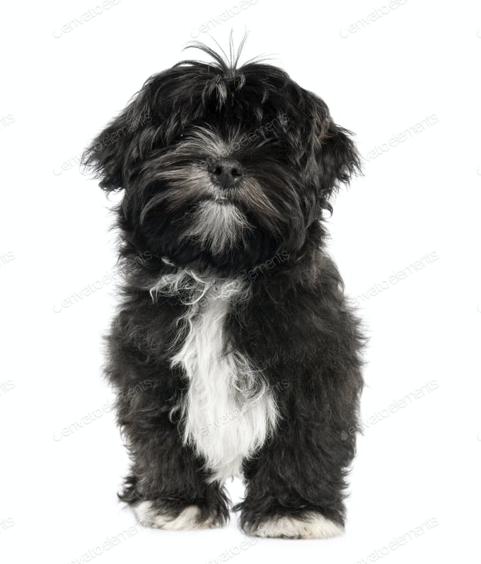Lhasa Apso puppy (4 months old)