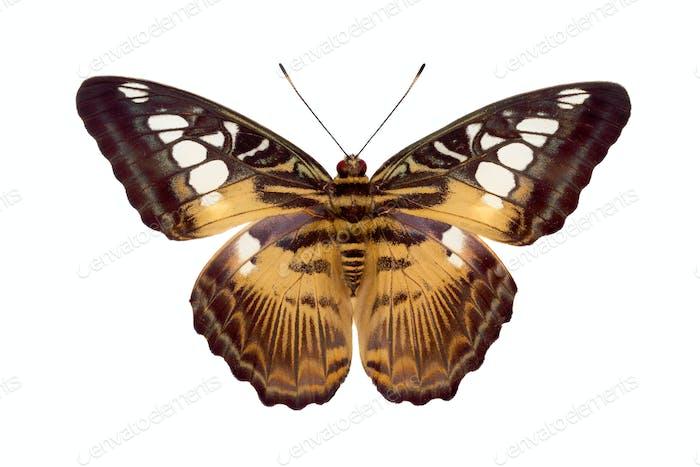 Butterfly Parthenos Sylvia
