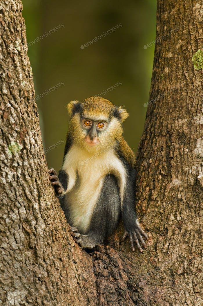 Mona monkey, Cercopithecus mona, Boabeng-Fiema Monkey Sanctuary, Ghana