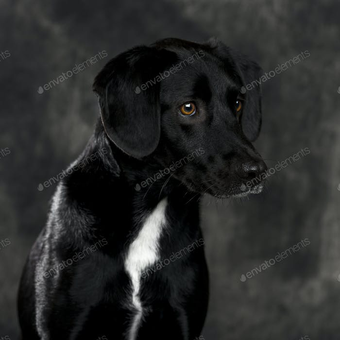 Labrador retriever in front of a grey background