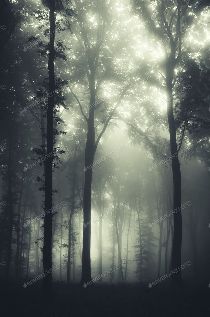 dark mysterious forest with old trees