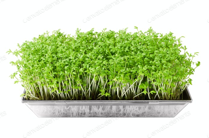 Garden cress in seed sprouter isolated over white