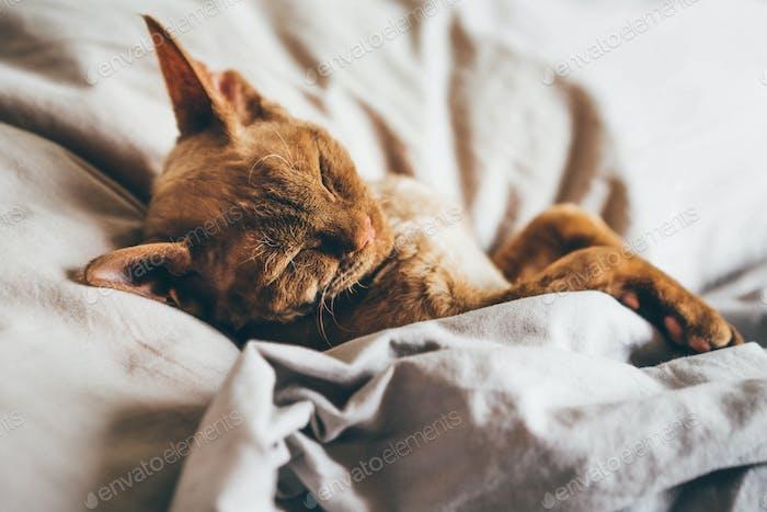 Devon Rex Kätzchen Devon Rex Katze schlafen auf Bett,