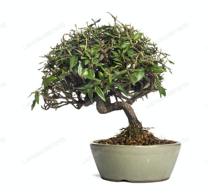 Bonsai-Baum, isoliert auf weiß