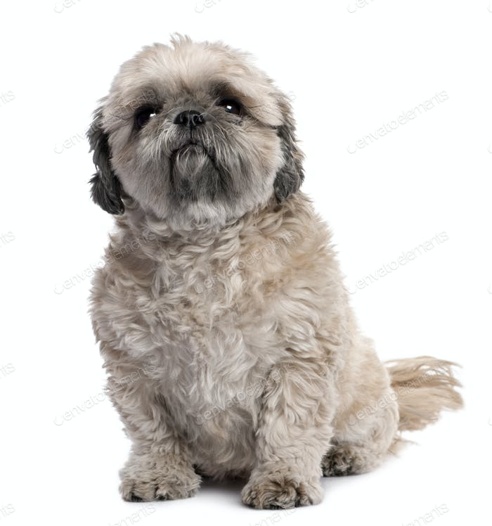 grey Shih Tzu (6 years old)