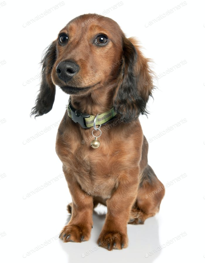 Dachshund (7 years old)