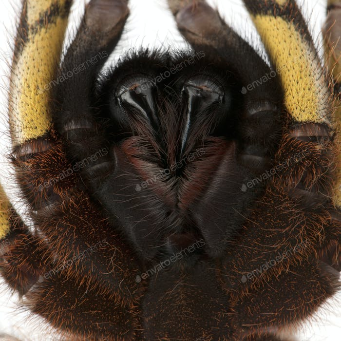 Close-up of Tarantula spider, Poecilotheria Fasciata, in front of white background