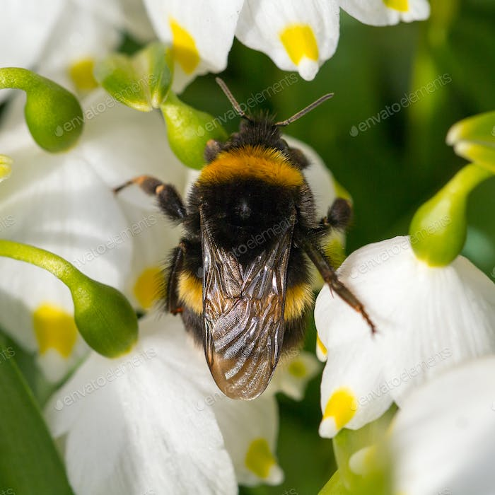 Close up Bumble bee sleeping on a flower