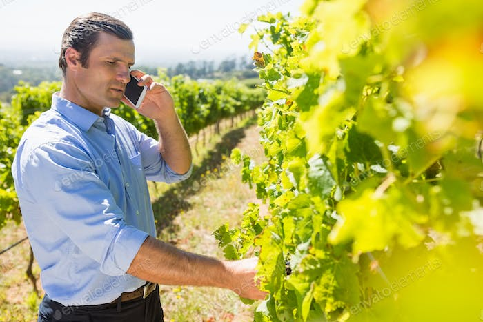 Vintner talking on mobile phone while examining grapes