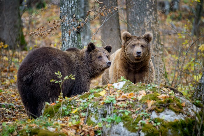 Close-up two brown bears in autumn forest. Danger animal in nature habitat. Big mammal
