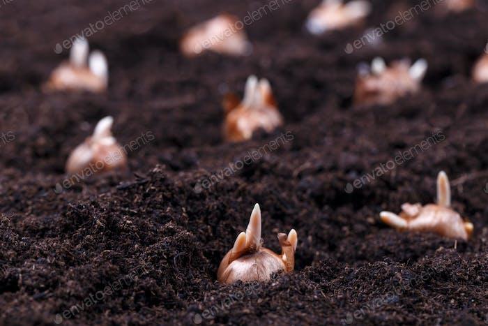 Blumenzwiebeln im Boden