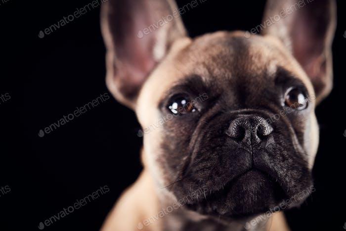 Studio Porträt von Französisch Bulldogge Welpen vor schwarzem Hintergrund