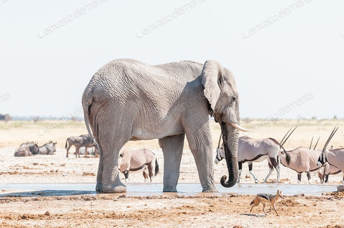 African elephant, black backed jackal and oryx at a waterhole