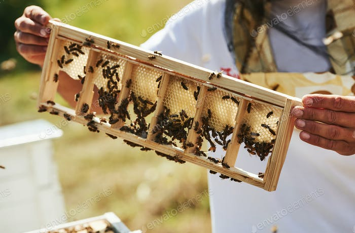 Beekeeper works with honeycomb full of bees outdoors at sunny day