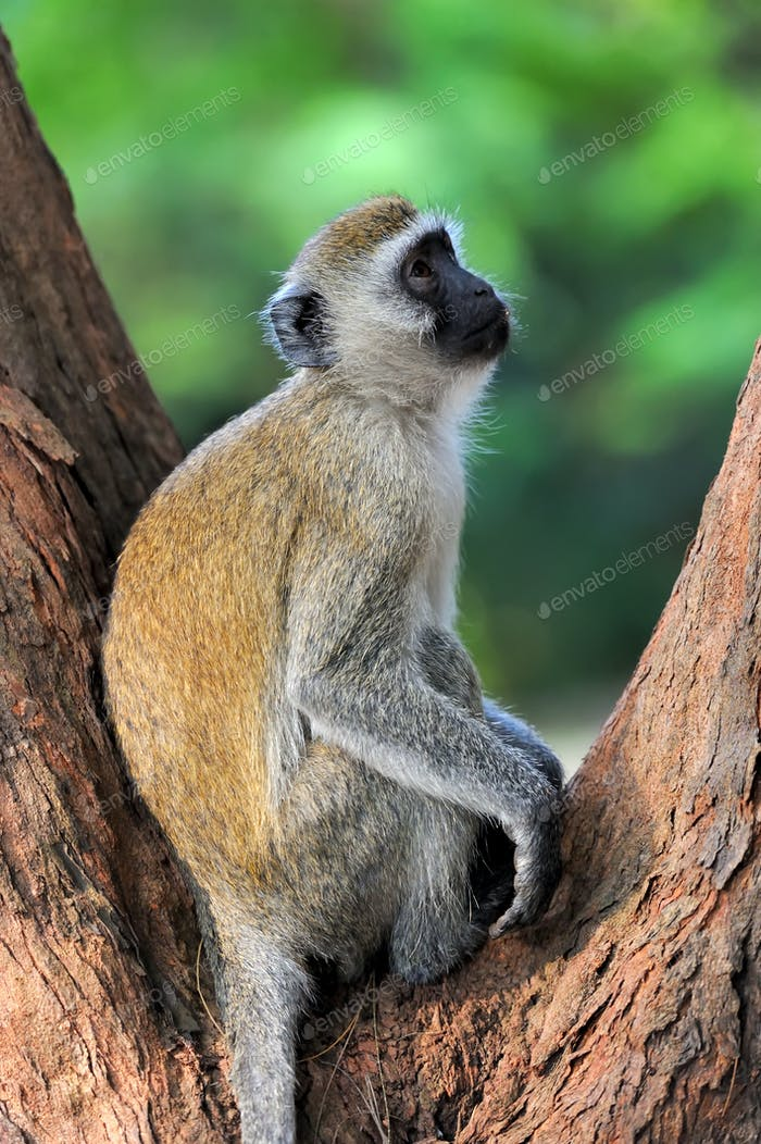 Vervet monkey in national park of Kenya