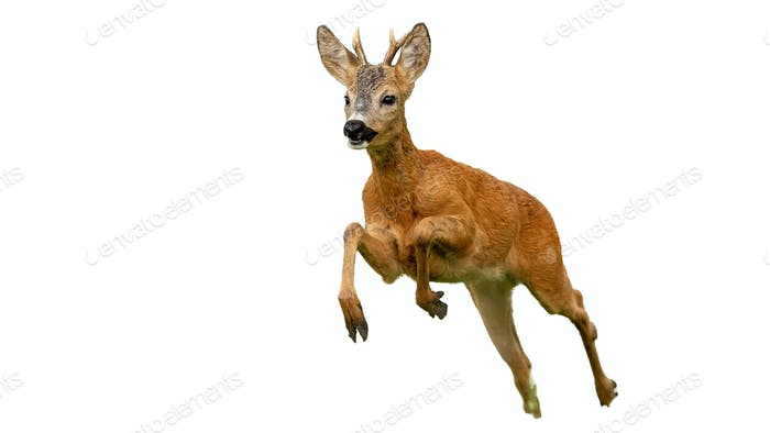Roe deer buck running fast in summer isolated on white