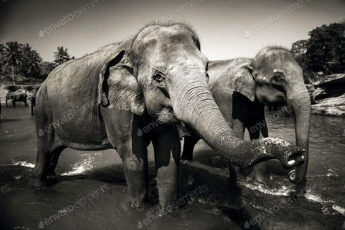 Sri Lankan Elephants Photo By Rawpixel On Envato Elements Lifespan, distribution and habitat map, lifestyle and social behavior, mating habits, diet and nutrition, population size and status. envato elements