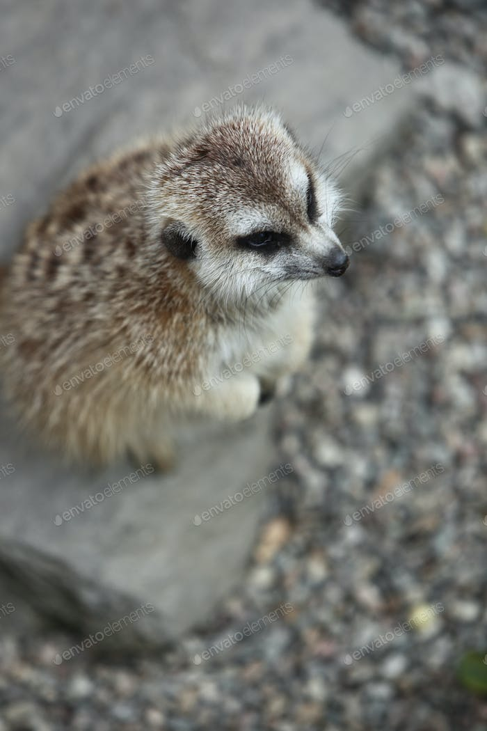 Funny and cute suricate (meerkat)