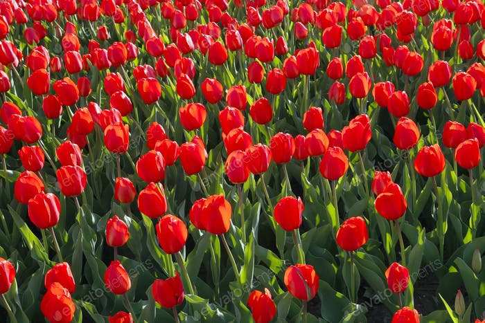 Beautiful red tulips natural background