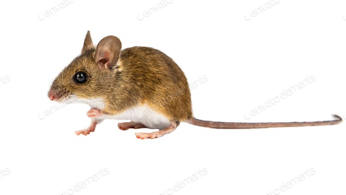 Side view sitting Field Mouse on white background