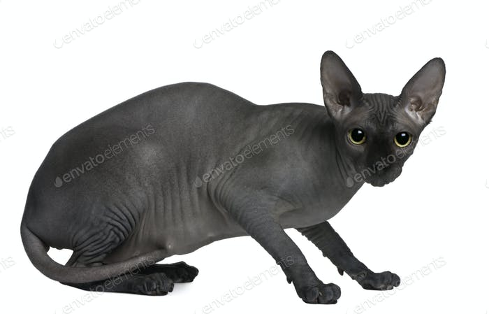 Sphynx cat, 14 months old, sitting in front of white background