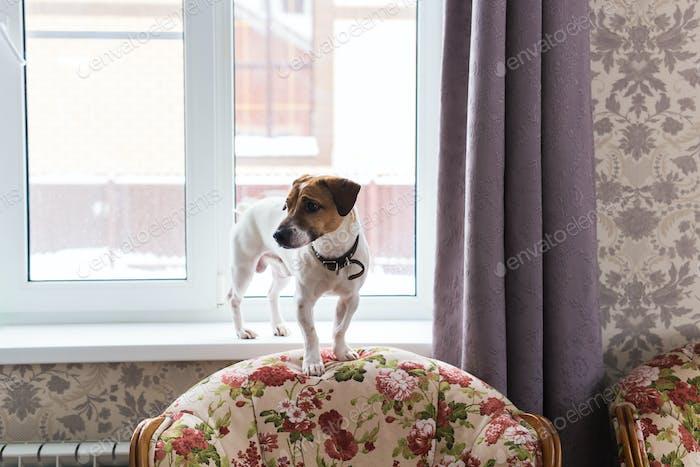 Netter Hund Jack Russell Terrier drinnen. Haustier- und Tierkonzept.