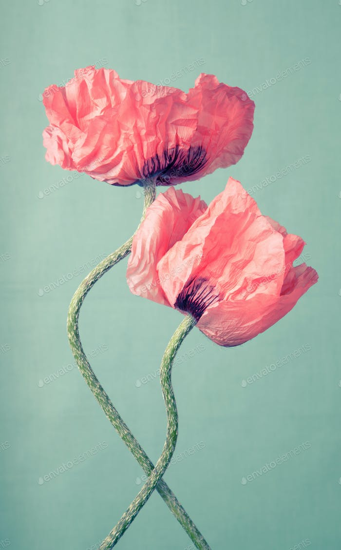 Two pink poppy flowers on a green background