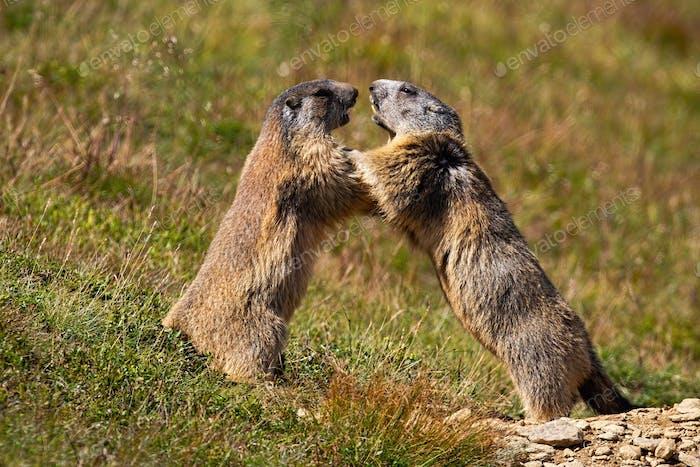 Alpine marmot, marmota marmota, fighting over territory near den entrance