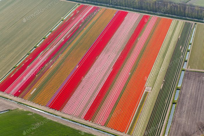 Tulip fields, North Holland, Netherlands