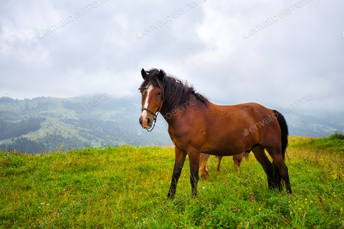 Horse on the meadow in the mountains. Foggy morning pasture