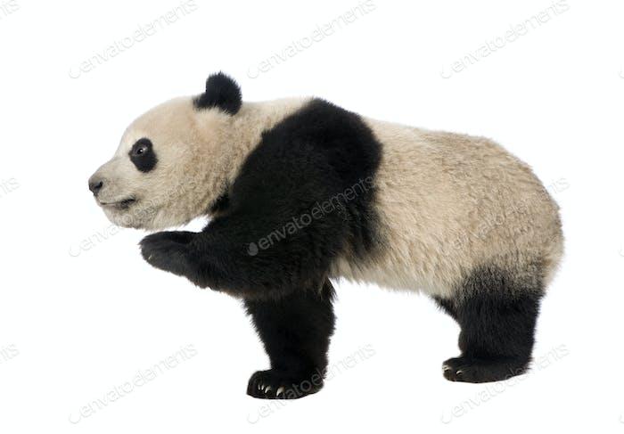 Giant Panda (18 months) - Ailuropoda melanoleuca