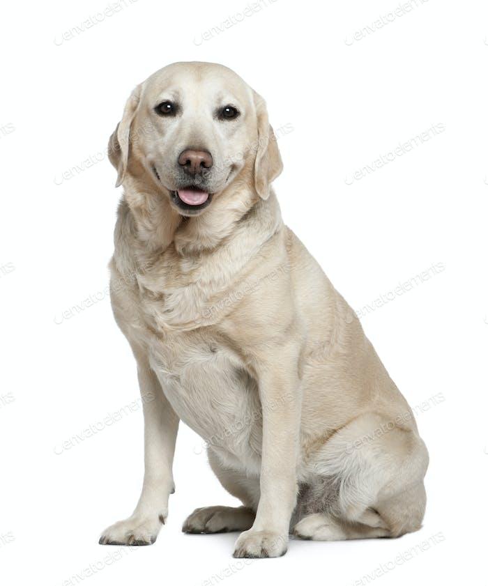 Labrador Retriever, 5 Jahre alt, sitzt vor weißem Hintergrund