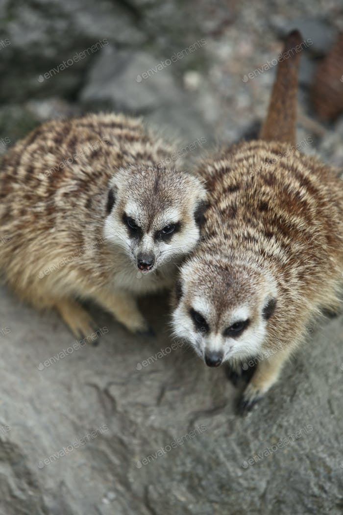 Lustig und niedlich suricate (Erdmännchen)