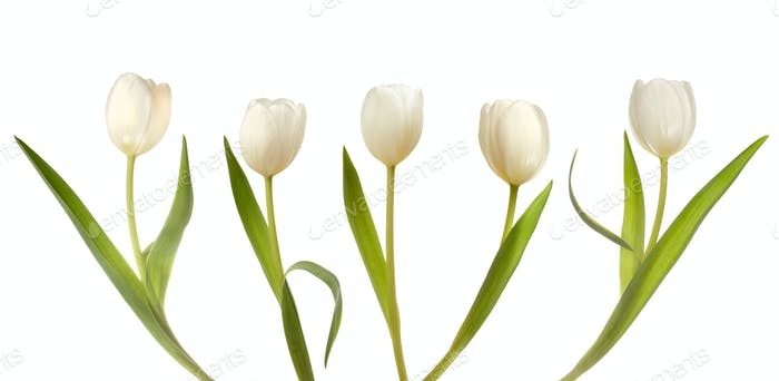 Set of five white tulips
