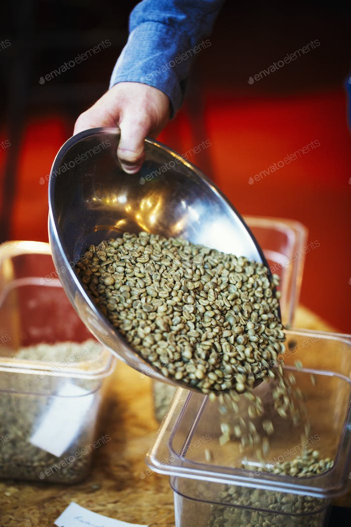 Specialist coffee shop. A person pouring green natural state coffee beans into a tub.