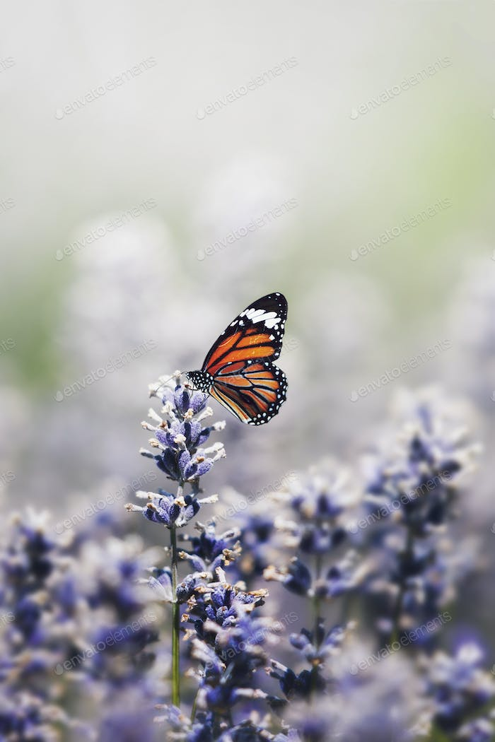 Monarch butterfly on the lavender stamen