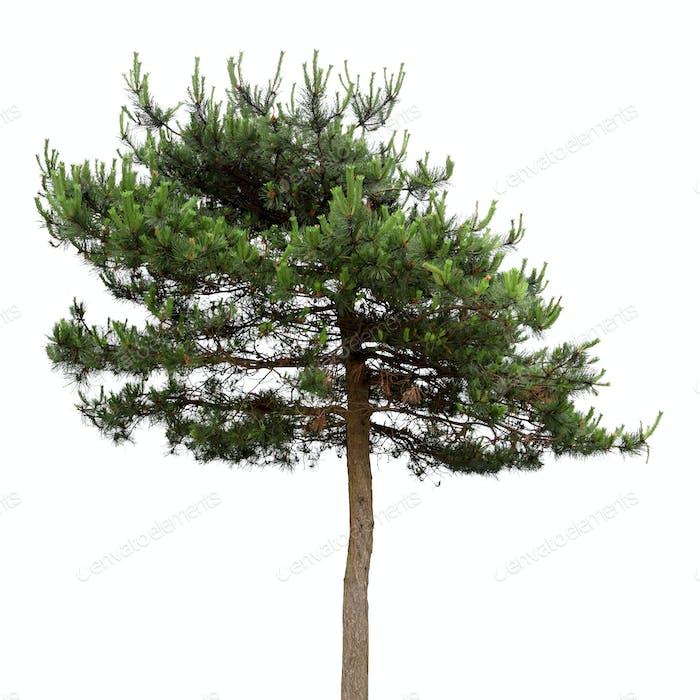 a masson pine