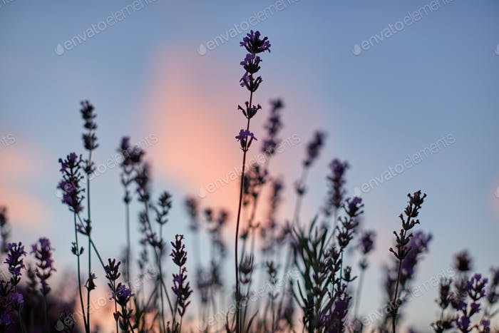Lavender flowers, sunset on background