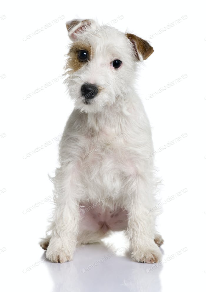 Parson Russell terrier puppy, 5 months old, sitting in front of white background