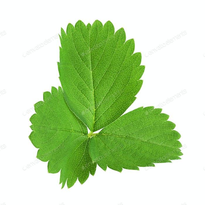 Grüne Erdbeerblätter isoliert auf weiß