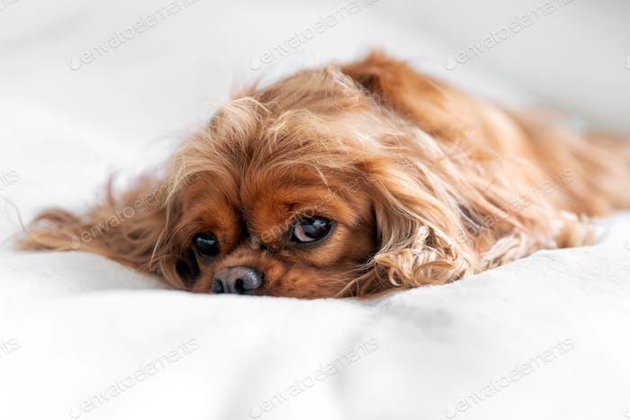 Cute dog on the white blanket