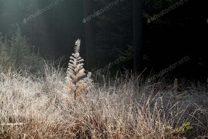 sunshine over larch tree in frost