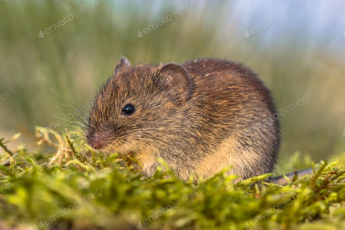 Bank vole in grass field